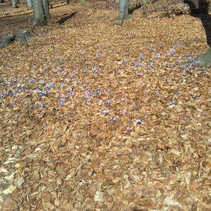 Przylaszczki - pierwsze wiosenne kwiaty