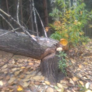 Pozostałości po działaniach bobrów